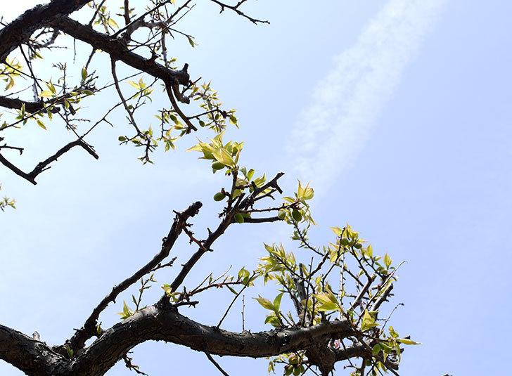 梅の木に小さいな実が付いた1.jpg