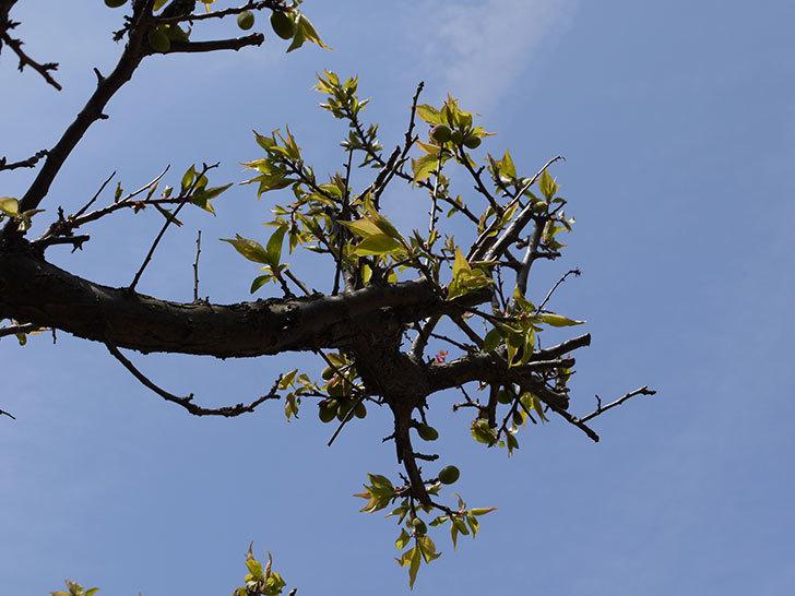 梅の木に小さいな実が付いた3.jpg