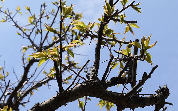 梅の木に小さいな実が付いた4.jpg