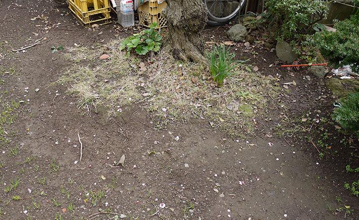 梅の木に牛糞を与えた2.jpg