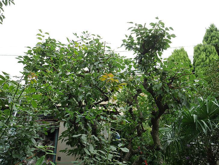 梅の木の剪定した。2017年-5.jpg