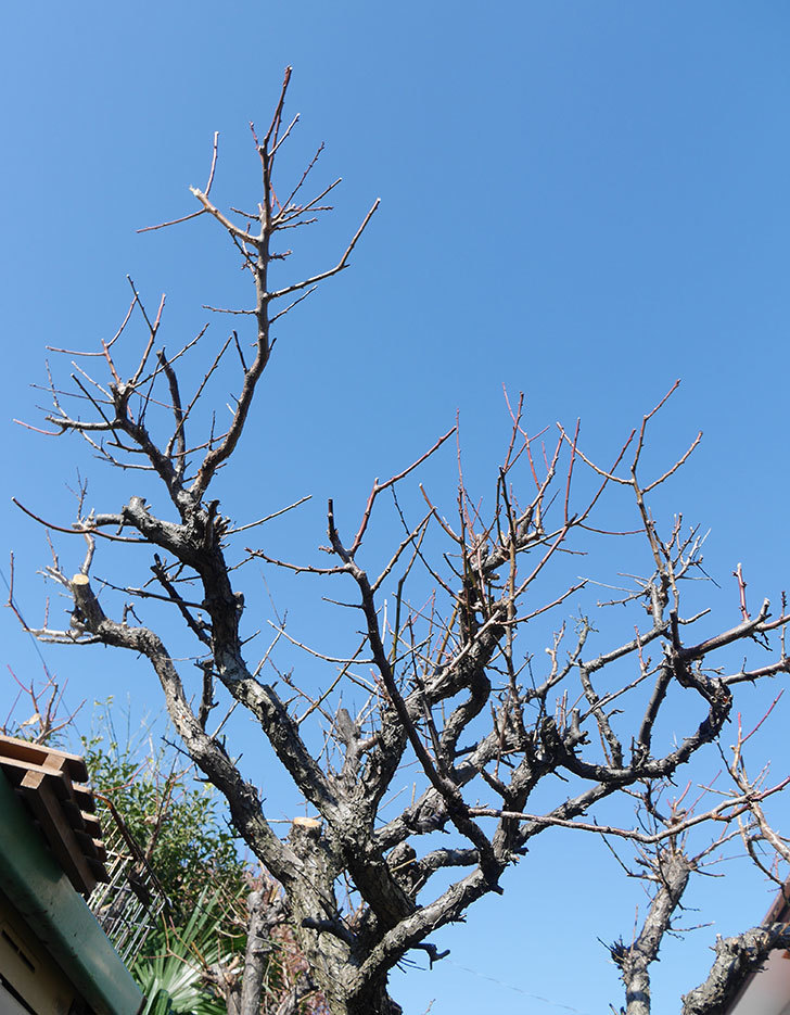 梅の木の剪定した。2019年-1.jpg