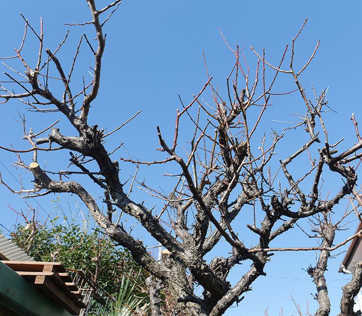 梅の木の剪定した。2019年-10.jpg
