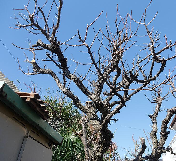 梅の木の剪定した。2019年-11.jpg