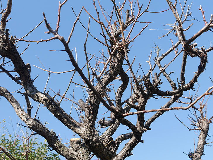 梅の木の剪定した。2019年-12.jpg