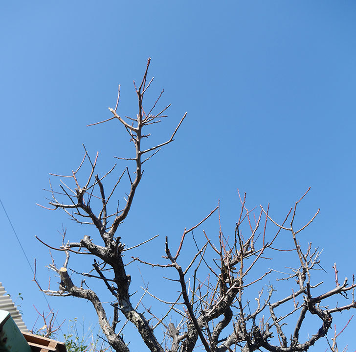 梅の木の剪定した。2019年-13.jpg