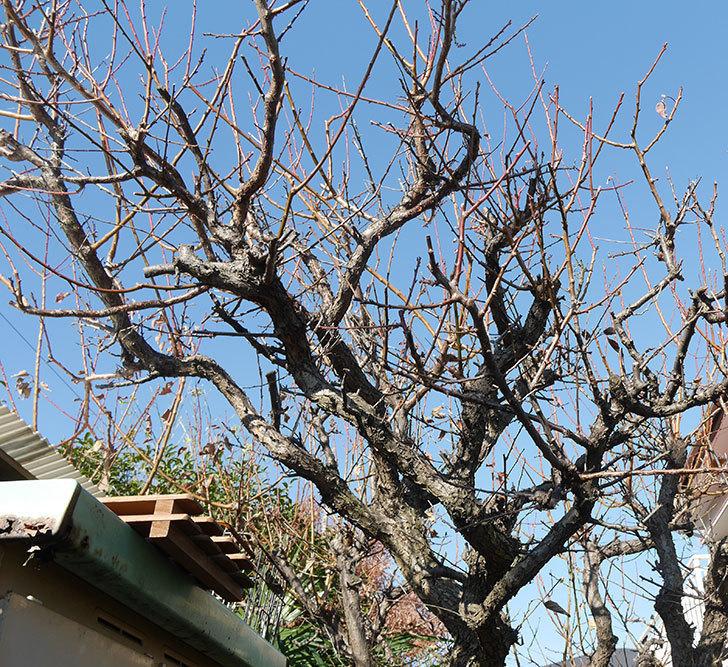 梅の木の剪定した。2019年-2.jpg