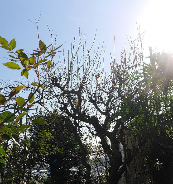 梅の木の剪定した。2019年-3.jpg