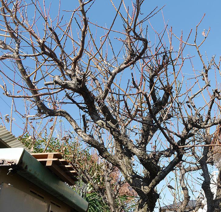 梅の木の剪定した。2019年-4.jpg