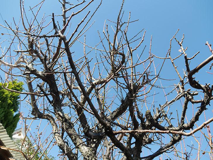 梅の木の剪定した。2019年-6.jpg