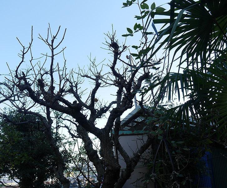 梅の木の剪定した。2019年-7.jpg