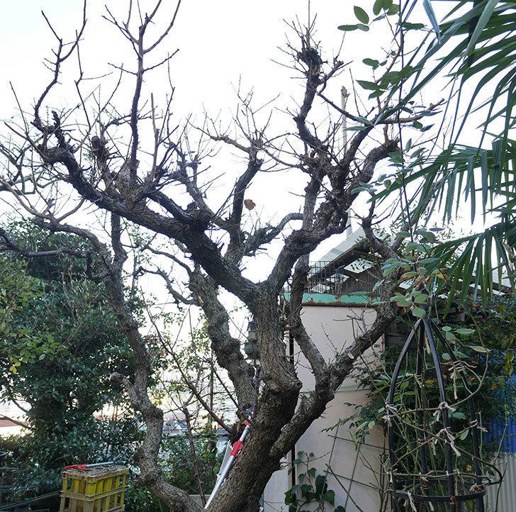 梅の木の剪定した。2019年-8.jpg