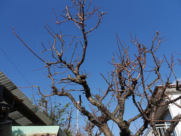 梅の木の剪定した。2020年-10.jpg