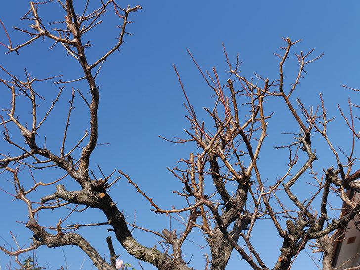 梅の木の剪定した。2020年-11.jpg