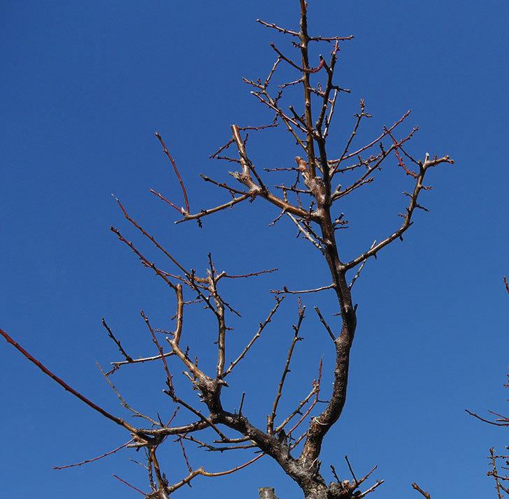 梅の木の剪定した。2020年-12.jpg