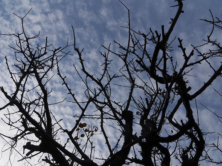 梅の木の剪定した。2020年-2.jpg