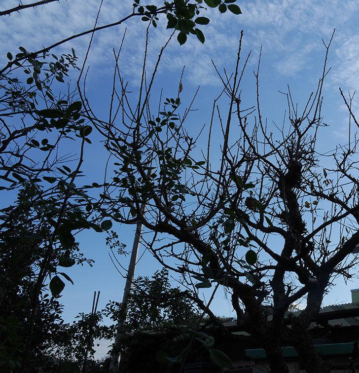 梅の木の剪定した。2020年-3.jpg