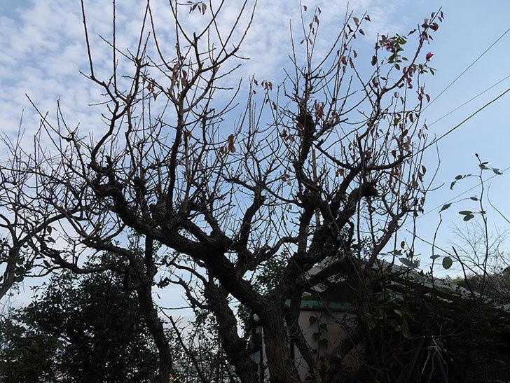 梅の木の剪定した。2020年-4.jpg