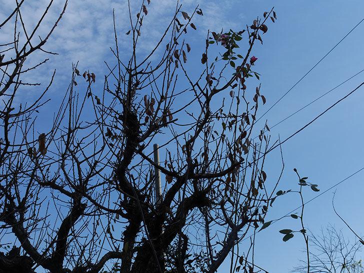 梅の木の剪定した。2020年-7.jpg