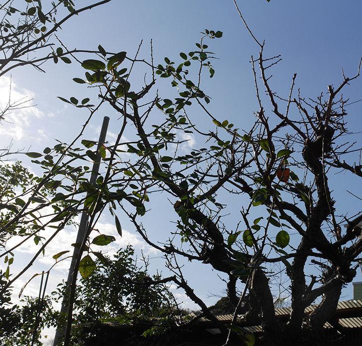 梅の木の剪定した。2020年-9.jpg