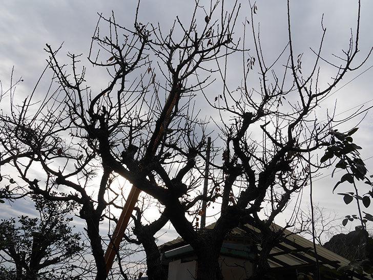 梅の木の剪定した。2021年-001.jpg