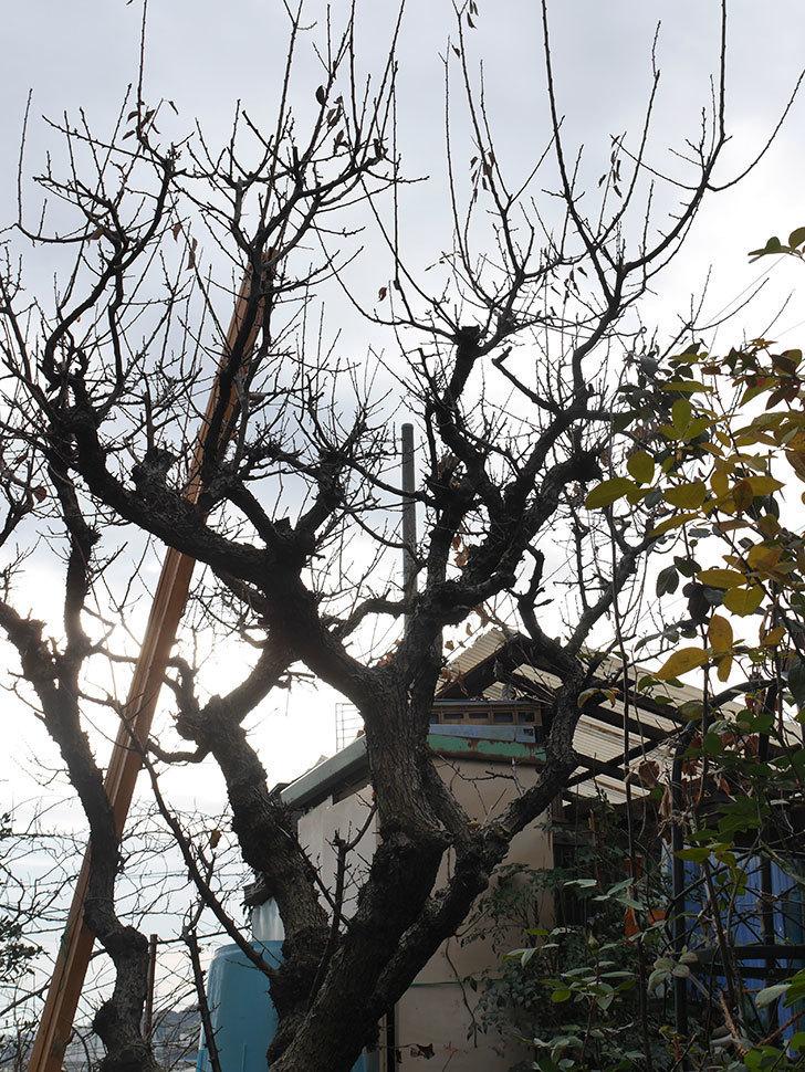 梅の木の剪定した。2021年-002.jpg