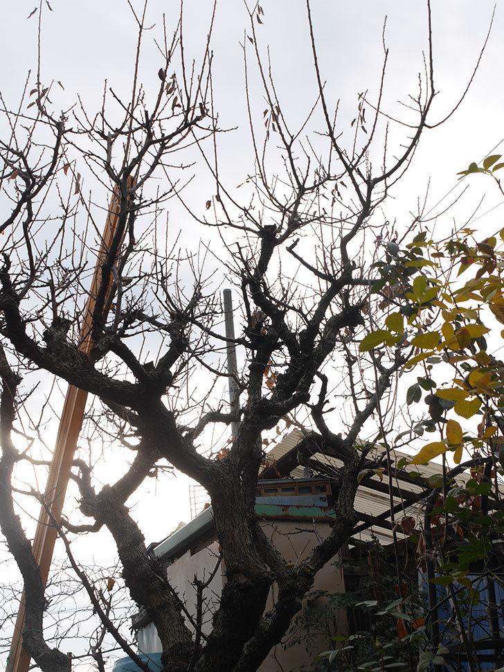 梅の木の剪定した。2021年-003.jpg