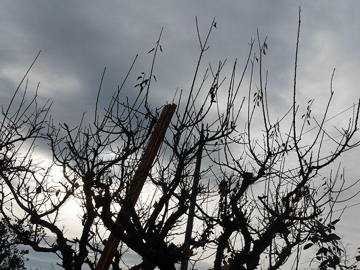梅の木の剪定した。2021年-004.jpg