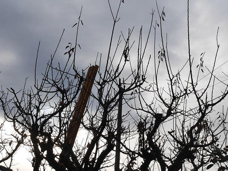 梅の木の剪定した。2021年-005.jpg