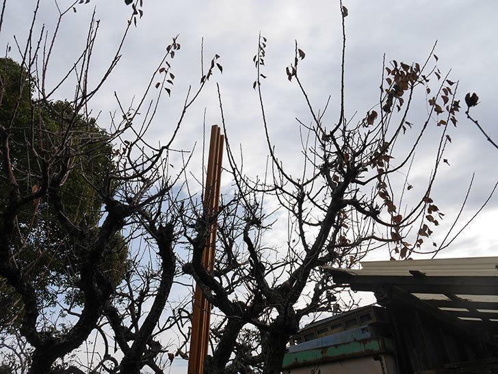 梅の木の剪定した。2021年-006.jpg