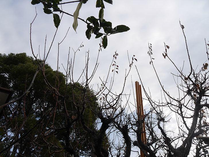 梅の木の剪定した。2021年-007.jpg