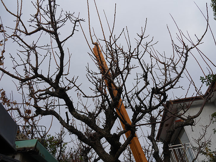 梅の木の剪定した。2021年-008.jpg