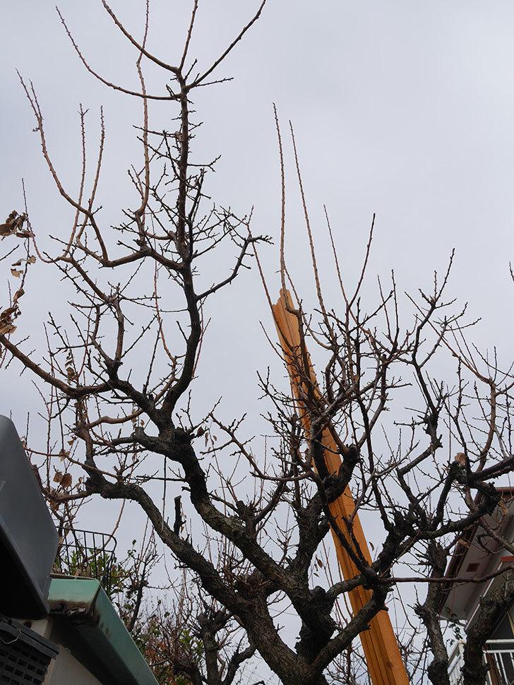 梅の木の剪定した。2021年-009.jpg
