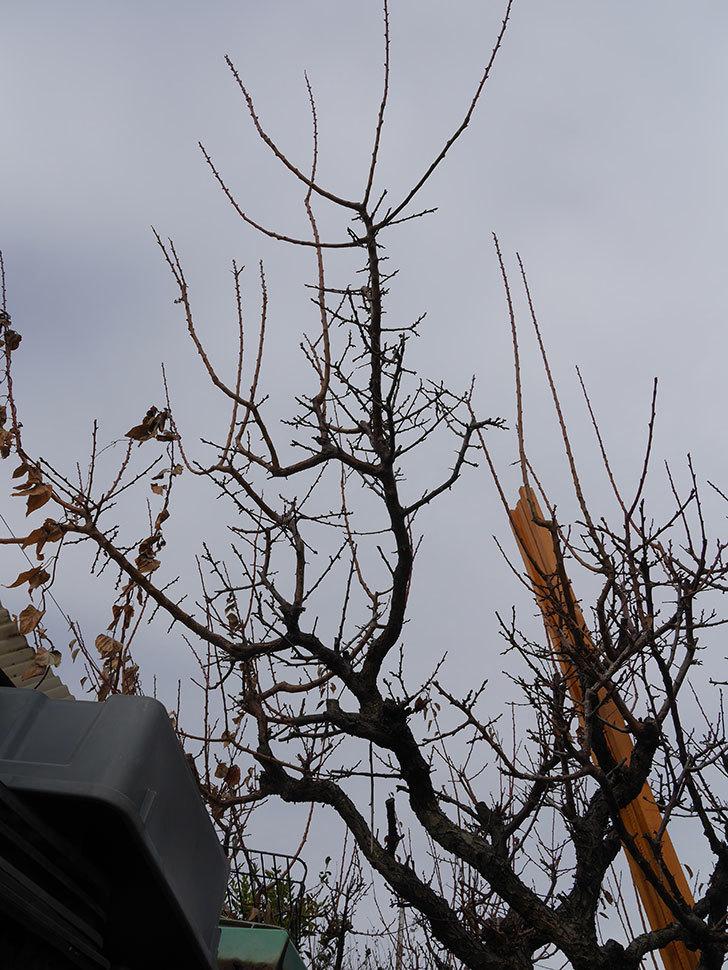 梅の木の剪定した。2021年-010.jpg
