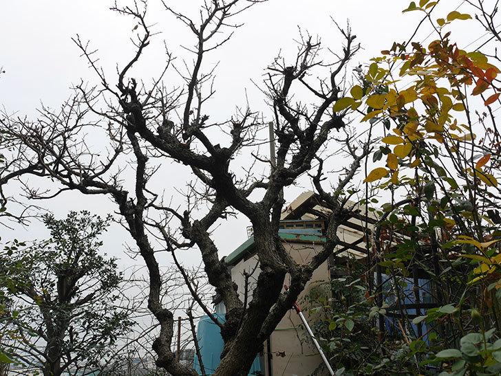 梅の木の剪定した。2021年-014.jpg