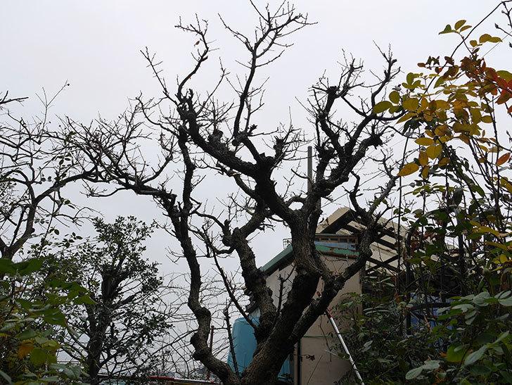 梅の木の剪定した。2021年-015.jpg
