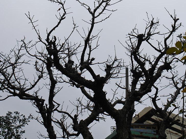 梅の木の剪定した。2021年-016.jpg