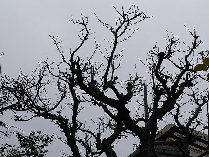 梅の木の剪定した。2021年-017.jpg