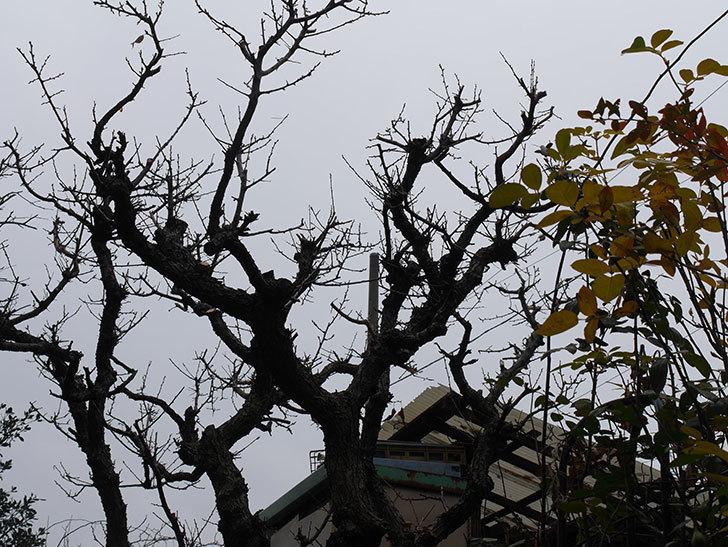 梅の木の剪定した。2021年-018.jpg