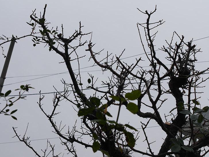 梅の木の剪定した。2021年-019.jpg