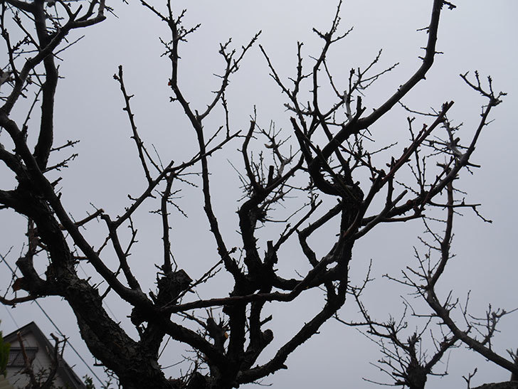 梅の木の剪定した。2021年-020.jpg