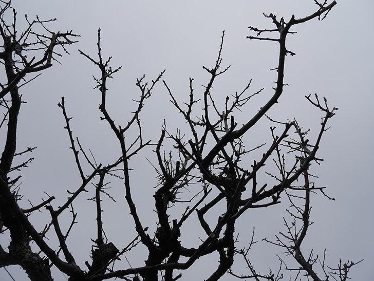 梅の木の剪定した。2021年-021.jpg