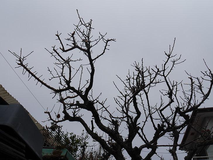 梅の木の剪定した。2021年-022.jpg