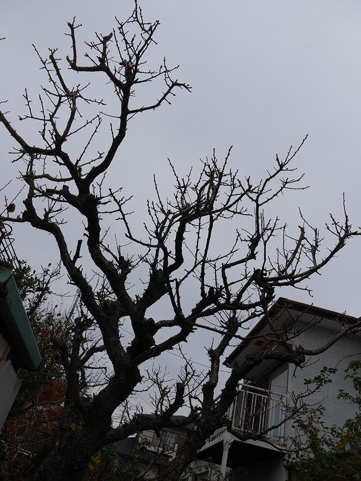 梅の木の剪定した。2021年-023.jpg
