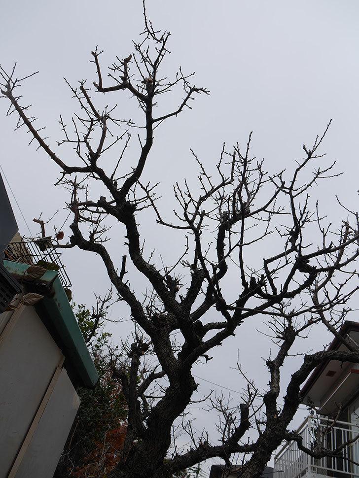 梅の木の剪定した。2021年-024.jpg