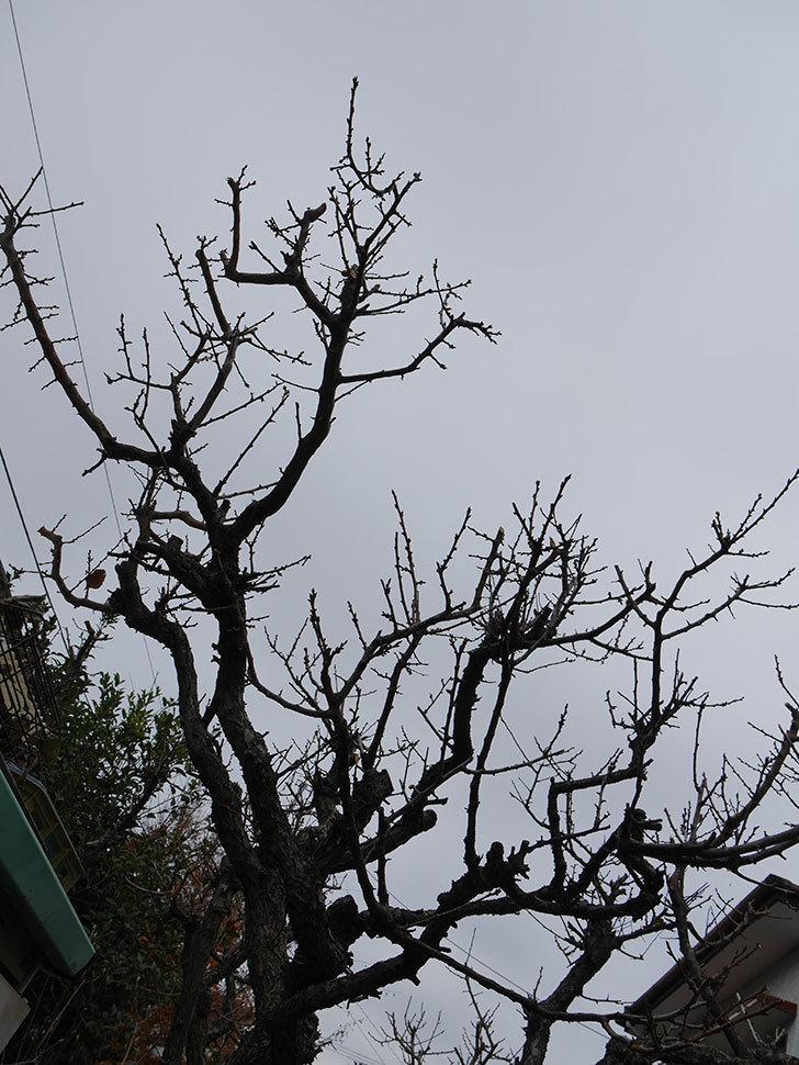 梅の木の剪定した。2021年-027.jpg