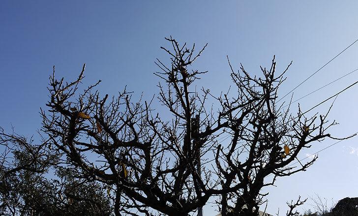 梅の木の剪定をした1.jpg