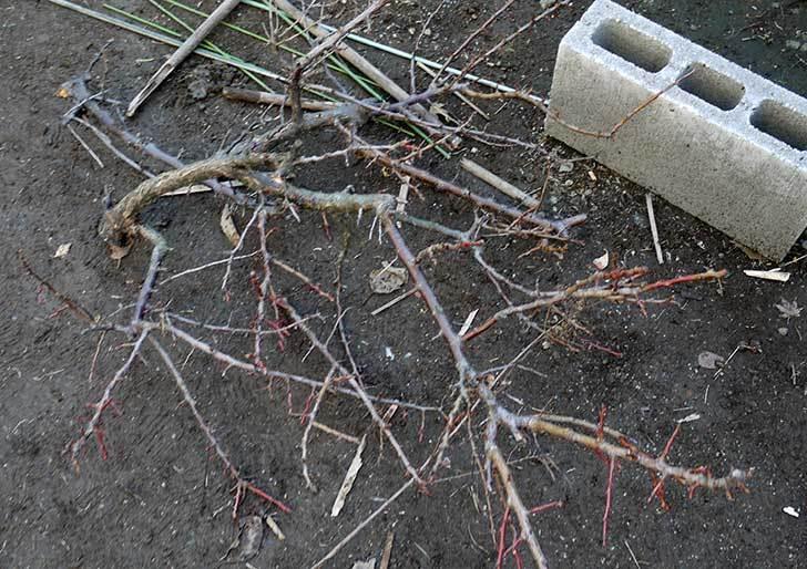 梅の木の剪定をした2.jpg