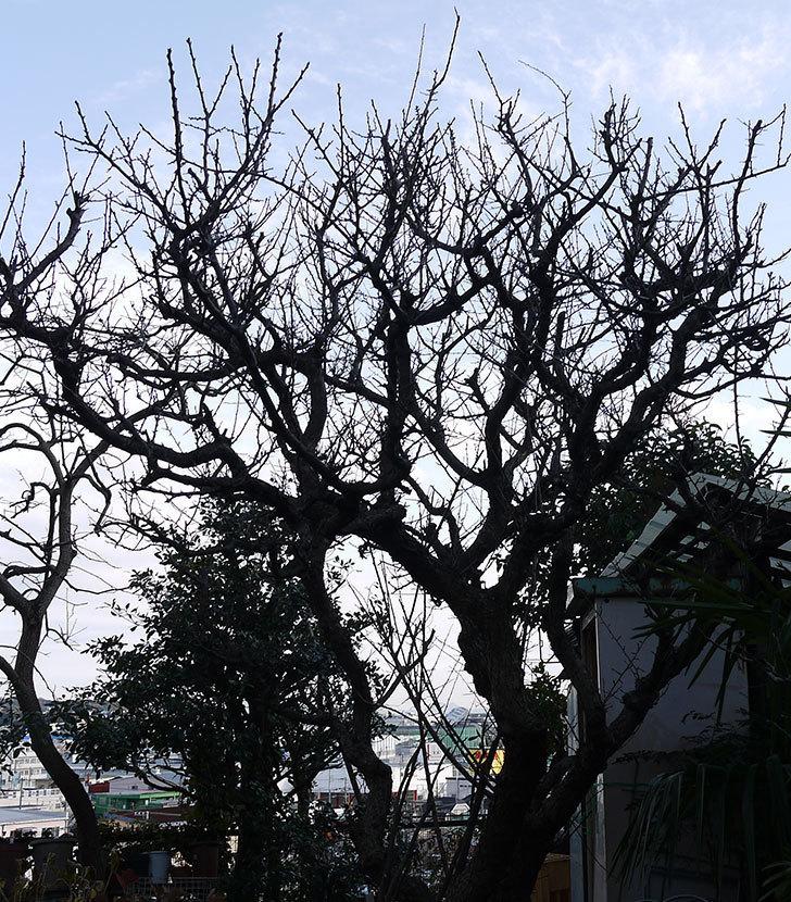 梅の木を強剪定した。2017年-2.jpg