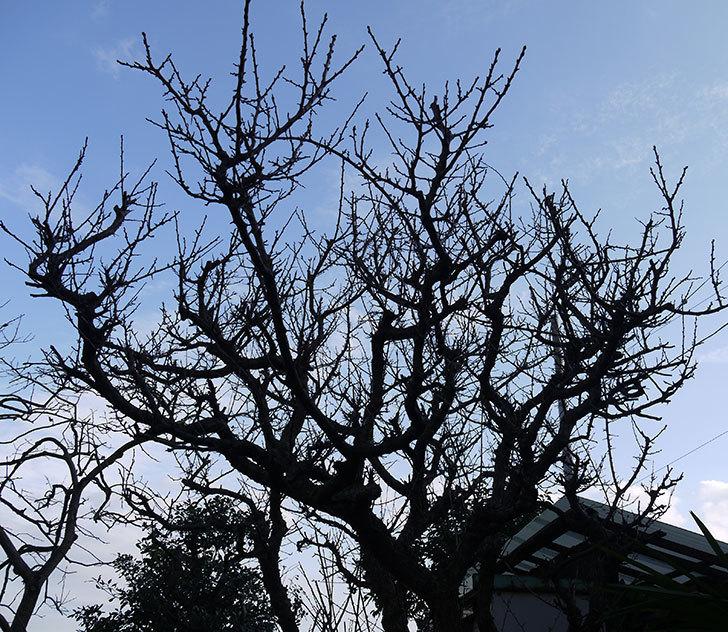 梅の木を強剪定した。2017年-3.jpg
